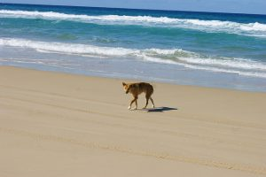 Dingo on the beach at Fraser Island, QLD, Australia